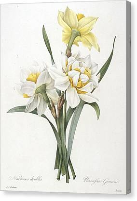 Narcissus Gouani Double Daffodil Canvas Print by Pierre Joseph Redoute