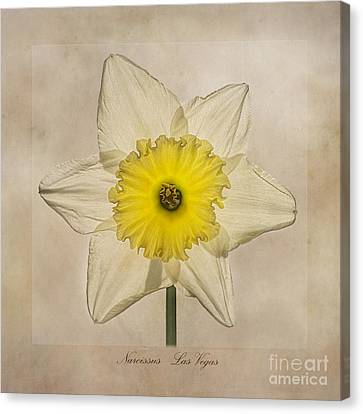 Narcissus Las Vegas Canvas Print by John Edwards