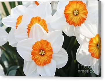 Narcissus Parkdene #2 Canvas Print