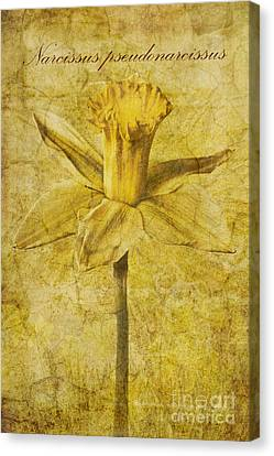 Narcissus Pseudonarcissus Canvas Print by John Edwards