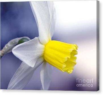 Narcissus Canvas Print by Sharon Talson