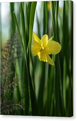 Narcissus Tripartite With Bronze Fennel Canvas Print by Rebecca Sherman