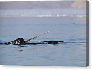 Monoceros Canvas Print - Narwhal Male Baffin Island Canada by Flip Nicklin