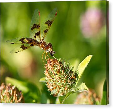 Canvas Print featuring the photograph Nashoba Winery Dragonfly by John Hoey