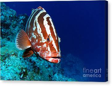 Nassau Grouper Canvas Print by Carey Chen