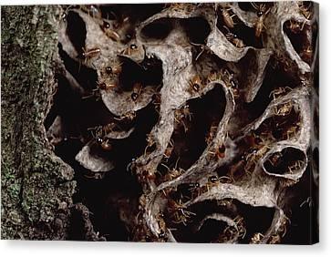 Nasute Termite Nest Amazonian Peru Canvas Print by Mark Moffett