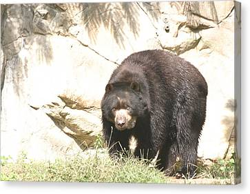 Black Canvas Print - National Zoo - Bear - 12121 by DC Photographer