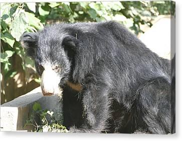 National Zoo - Bear - 12128 Canvas Print