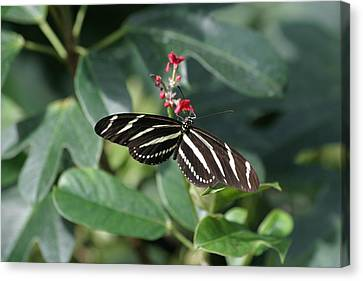 National Zoo - Butterfly - 12121 Canvas Print by DC Photographer