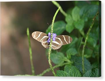 National Zoo - Butterfly - 12122 Canvas Print by DC Photographer