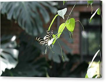 National Zoo - Butterfly - 12125 Canvas Print by DC Photographer