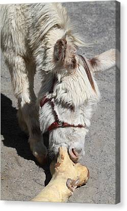 National Zoo - Donkey - 01138 Canvas Print by DC Photographer
