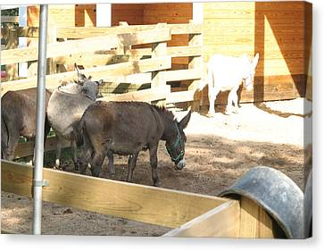 National Zoo - Donkey - 12121 Canvas Print by DC Photographer