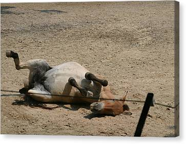 National Zoo - Donkey - 121210 Canvas Print