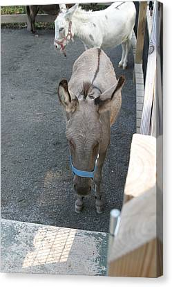 National Zoo - Donkey - 12127 Canvas Print by DC Photographer