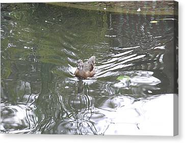 National Zoo - Duck - 121211 Canvas Print by DC Photographer