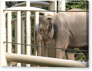 National Zoo - Elephant - 12129 Canvas Print