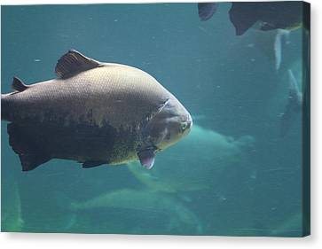 National Zoo - Fish - 011320 Canvas Print by DC Photographer