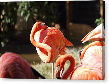 National Zoo - Flamingo - 01135 Canvas Print by DC Photographer