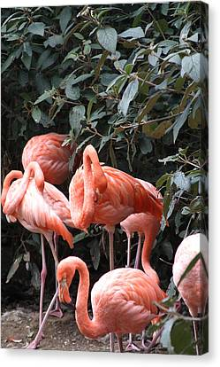 National Zoo - Flamingo - 12124 Canvas Print by DC Photographer
