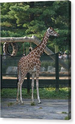 National Zoo - Giraffe - 12121 Canvas Print by DC Photographer