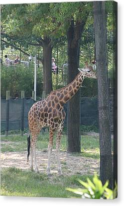 National Zoo - Giraffe - 12124 Canvas Print by DC Photographer