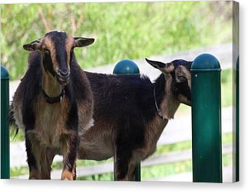 National Zoo - Goat - 01131 Canvas Print by DC Photographer