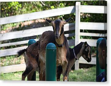 National Zoo - Goat - 01133 Canvas Print