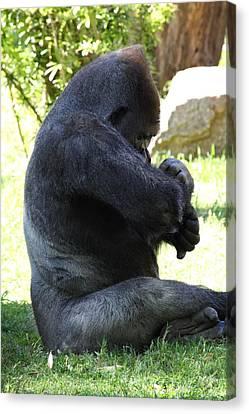 National Zoo - Gorilla - 011318 Canvas Print