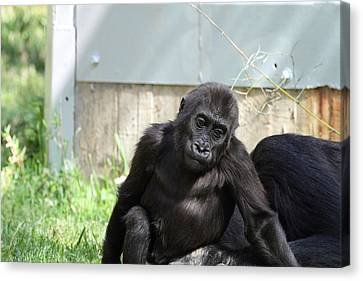 National Zoo - Gorilla - 011338 Canvas Print by DC Photographer