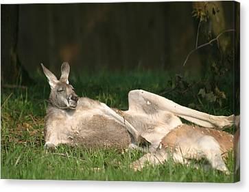National Zoo - Kangaroo - 12123 Canvas Print by DC Photographer