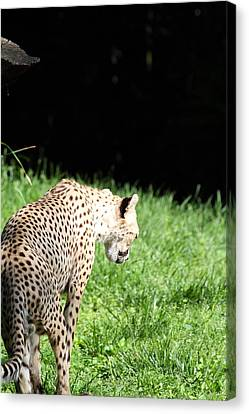 National Zoo - Leopard - 011310 Canvas Print by DC Photographer