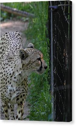 National Zoo - Leopard - 011312 Canvas Print