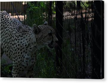 Leopard Canvas Print - National Zoo - Leopard - 011314 by DC Photographer