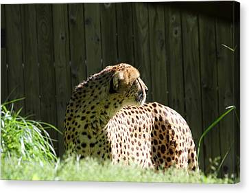 Animal Canvas Print - National Zoo - Leopard - 011318 by DC Photographer