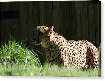 National Zoo - Leopard - 011319 Canvas Print
