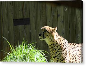 National Zoo - Leopard - 011320 Canvas Print by DC Photographer