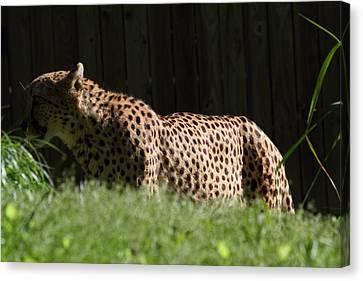 National Zoo - Leopard - 011321 Canvas Print by DC Photographer