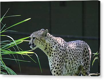 Leopards Canvas Print - National Zoo - Leopard - 011322 by DC Photographer