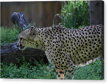 National Zoo - Leopard - 011323 Canvas Print by DC Photographer