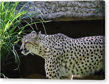Leopard Canvas Print - National Zoo - Leopard - 011324 by DC Photographer