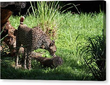 National Zoo - Leopard - 01136 Canvas Print by DC Photographer