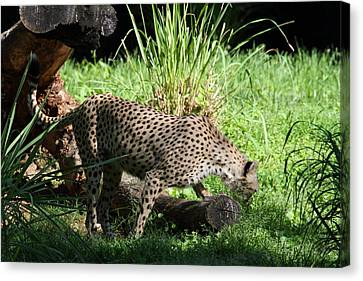 National Zoo - Leopard - 01137 Canvas Print by DC Photographer
