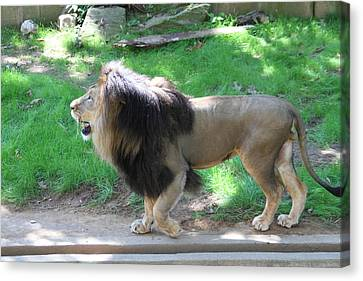 National Zoo - Lion - 01131 Canvas Print