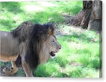 National Zoo - Lion - 01136 Canvas Print