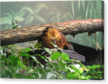 National Zoo - Mammal - 121211 Canvas Print