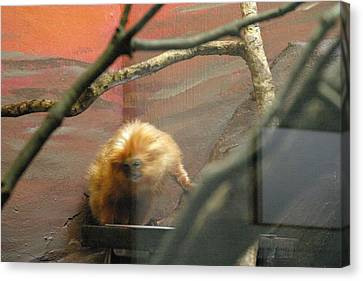 National Zoo - Mammal - 121215 Canvas Print