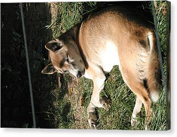 National Zoo - Mammal - 12124 Canvas Print by DC Photographer