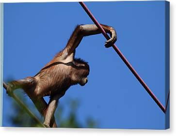 National Zoo - Orangutan - 011320 Canvas Print