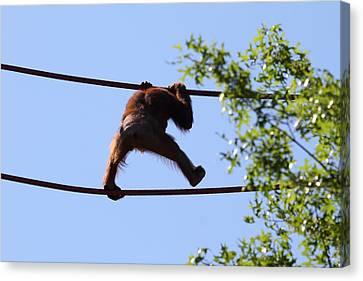 Orangutan Canvas Print - National Zoo - Orangutan - 01137 by DC Photographer